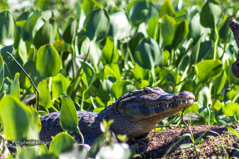 The Grinning Cayman- Pantanal Brazil