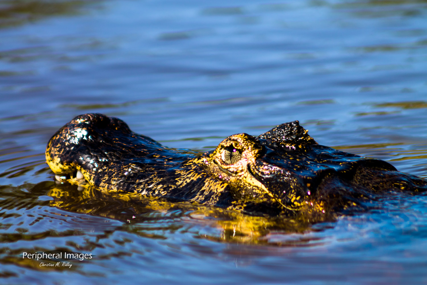 Laying low- Caymen in the Pantanal Brazil