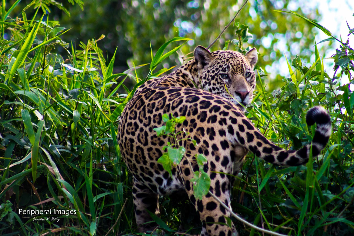 Jaguar in the grass- Pantanal Brazil