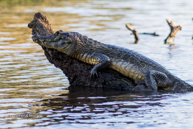 Sunbathing Cayman- Pantanal Brazil