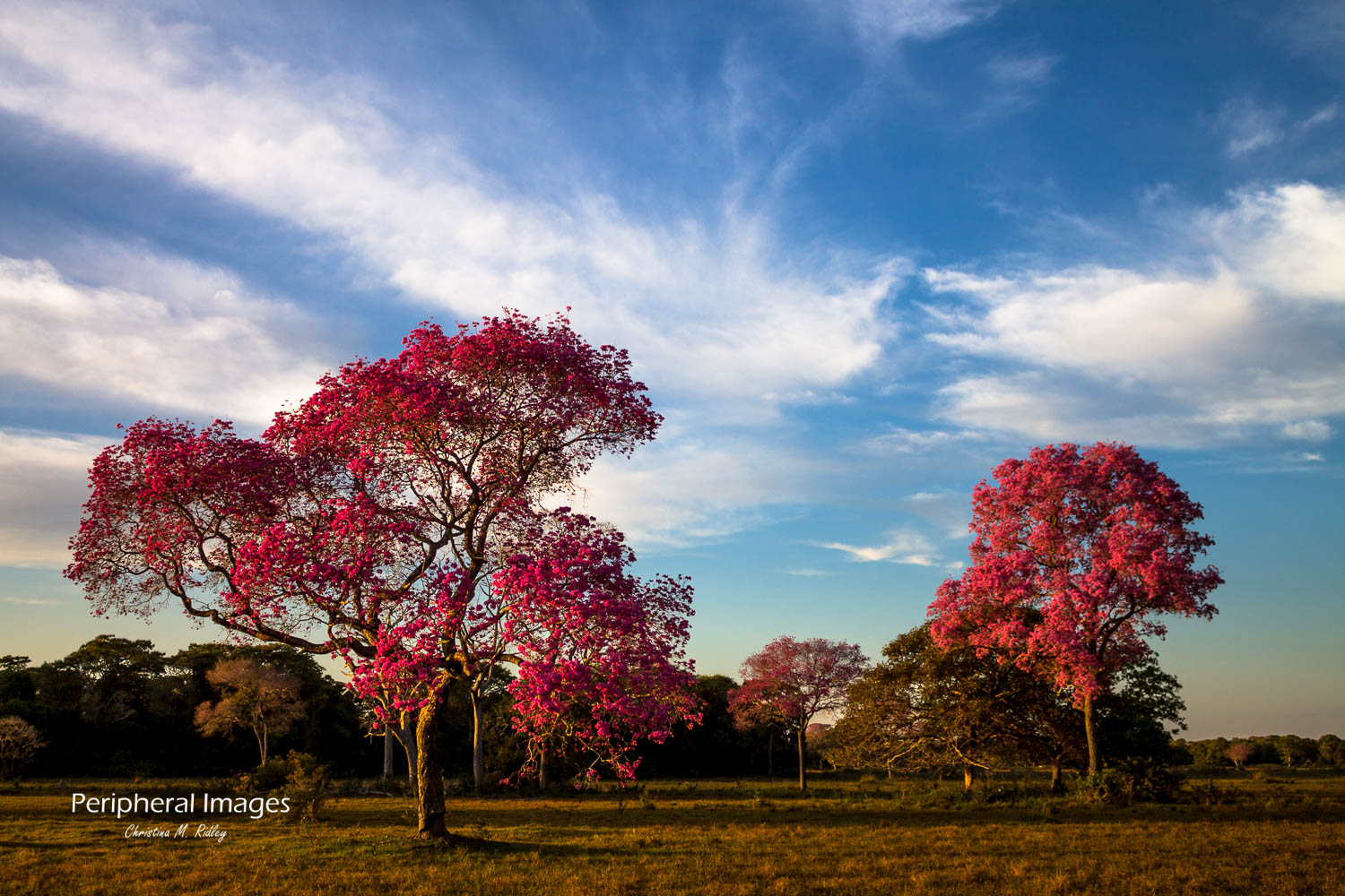 Colourful Pink Piuva Trees- Pantanal Brazil
