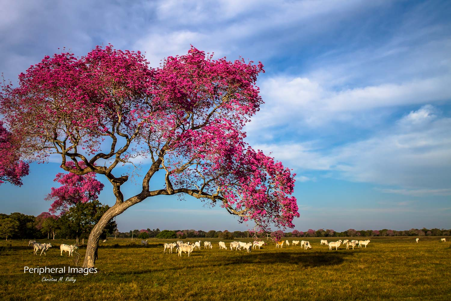 Pink Piuva Trees and Cows- Pantanal-Brazil
