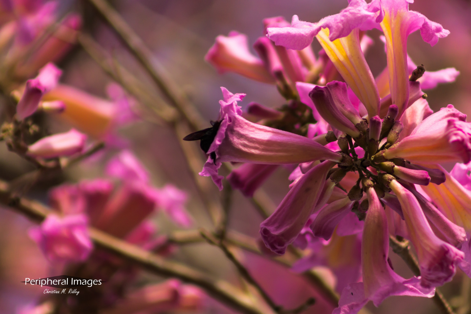 Pink Flower with Bee -Pantanal Brazil