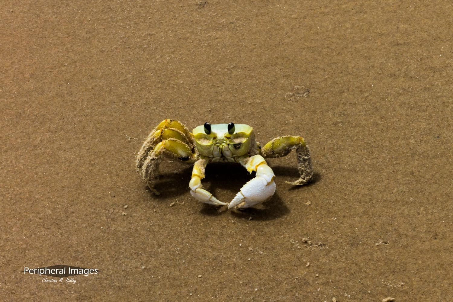 Yellow Crab on the Beach- Brazil
