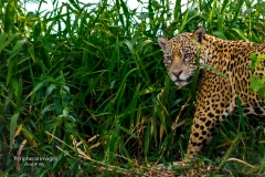 Jaguar in the tall green grasss- Pantanal Brazil