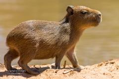 Baby Capybara- Pantanal Brazil