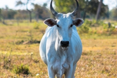 Big Brazilian Cow- Pantanal Brazil