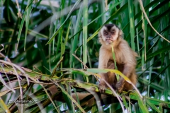 The cool monkey- Pantanal Brazil