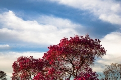 Pink Piuva Tree- Pantanal Brazil