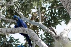 Blue Macaw Parrots- Pantanal Brazil